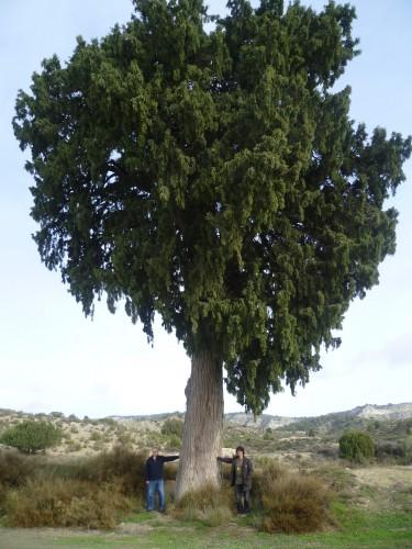 La sierra de Alcubierre a la espalda, al mediodía el Ebro. La sabina puede tener cientos de años y entre Julio y Juan un siglo.